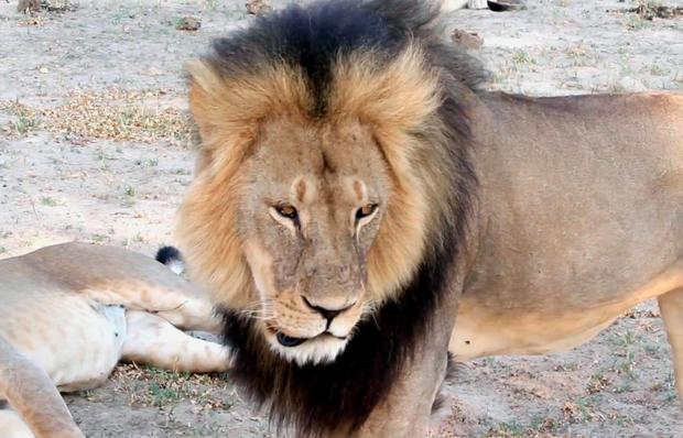 Cecil the Lion in Hwange National Park in Zimbabwe