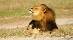 Cecil the lion at Hwange National Park – he was shot in 2015
