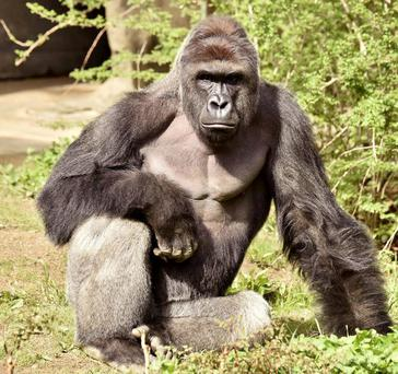 Harambe, a 17-year-old gorilla at the Cincinnati Zoo who was shot dead.
