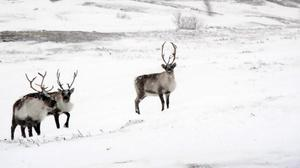 Reindeer are helping to increase the amount of solar radiation bouncing back into space by eating Arctic shrubs