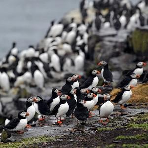 A puffin census is under way on the Farne Islands