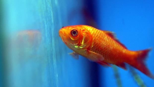 Goldfish reported stolen from a Dumfries and Galloway property were found at the bottom of the owner's pond