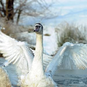 One unusual insurance claim arose when a swan crashed through the roof of a holiday home