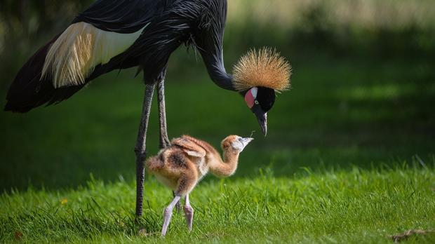 A West African black-crowned crane mum with one of her two rare chicks at Chester Zoo.