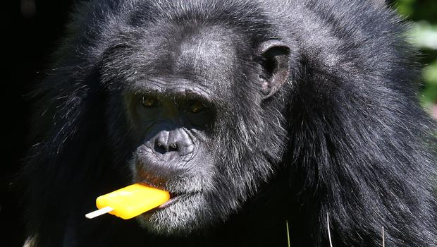 Chippy the chimp eats a fruit-flavoured ice lolly at Blair Drummond Safari Park