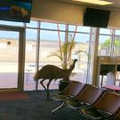 An emu at Whyalla Airport in South Australia (Academy Services)
