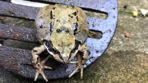 Merseyside Fire and Rescue Service was asked to assist with specialist cutting equipment to free the frog (RSPCA/PA)
