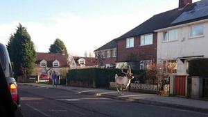 A reindeer runs down a street after escaping from a Tesco Christmas event in Carlton, Nottinghamshire, on Sunday morning (Warren Porter/Twitter/PA)