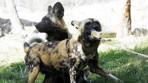 African wild dogs competing for a log impregnated with a chemical that gives blood its characteristic smell (Linkoping University/PA)
