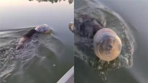 The bear was swimming in a lake with the jar on its head (Tricia Hurt)