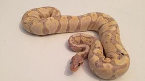 A Royal Ball Python, which was among 38 snakes stolen from an address in St Helens.