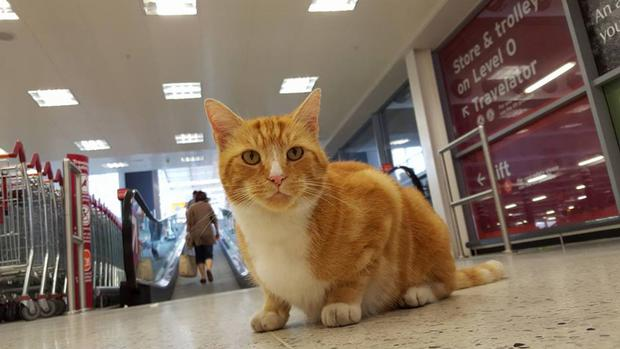 Garfield the cat, who has become something of a local celebrity in his local branch of Sainsbury's in Ely, which he treats as his second home
