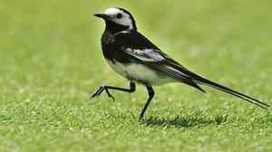 A Pied Wagtail bird reprieved after Tesco's plans to shoot it caused a Twitter backlash has been caught and released