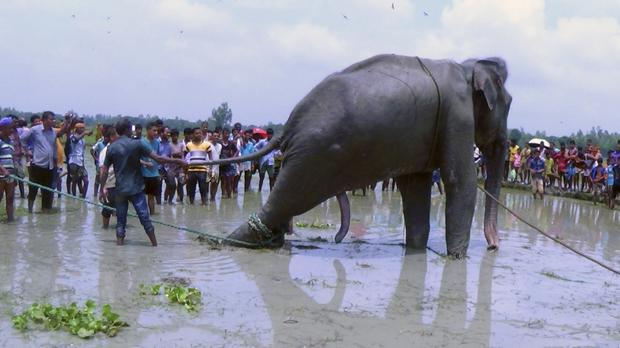 Bangladeshi villagers gather as wildlife experts attend to a fully grown Indian elephant that washed up in a swamp after being caught up in raging floodwaters (AP)