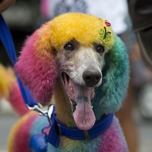 "One of the canine attractions at the ""Blocao"" dog carnival in Rio de Janeiro (AP)"