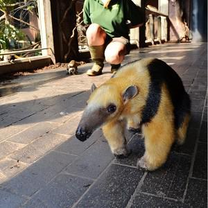 Tammy the tree-climbing anteater is to be given her own minder during a series of late-night events at ZSL London Zoo (ZSL London Zoo/PA)