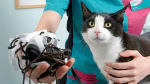 Garry the cat, who had surgery at Brighton PDSA pet hospital to remove shoelaces from his stomach (PDSA/PA)