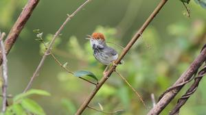 The Cambodian Tailorbird was one of several new species found in the study