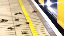 Screenshot of video taken from Twitter with permission from @Curtis1192 of several dozen crabs scuttling on the platform at Gateshead Metro Station (Curtis Charlton/PA)