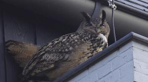 The eagle owl terrorised people in a Dutch town
