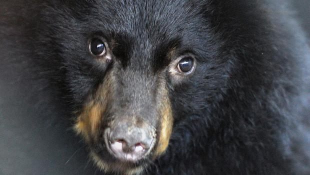 An American black bear was captured after wandering close to a college party