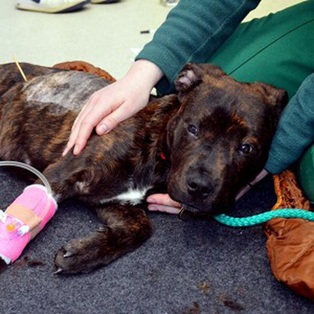 Stray mongrel Patrick had to have an operation after he swallowed a wooden kebab skewer whole (Battersea Dogs and Cats Home/PA)