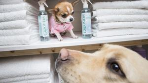 Ruby the Chihuahua and Lily the Labrador in the luxury spa at the Bellslea Hills Pet Hotel and Spa