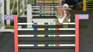 Mio, one of the showjumping rabbits, in action