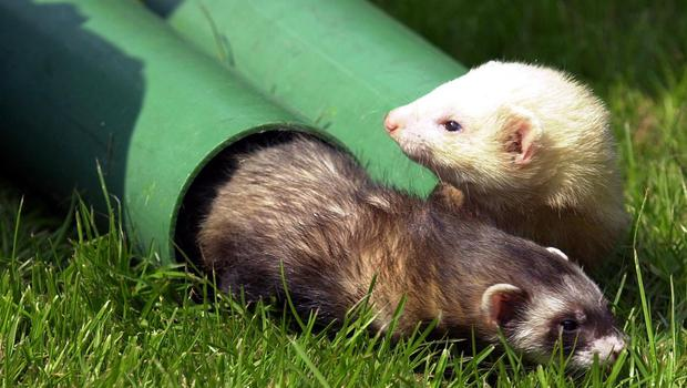 Baroness Farrington of Ribbleton issued the cautionary tale about ferrets at question time in the Lords