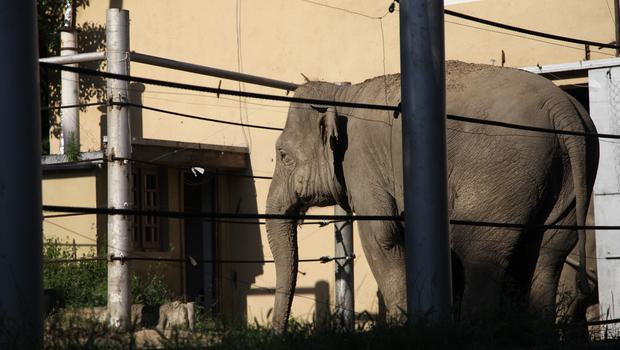 An elephant stands behind bars inside the zoo in Tbilisi, Georgia (AP)