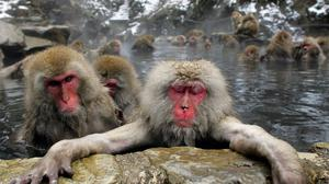 The monkeys take a dip in a hot spring (AP)