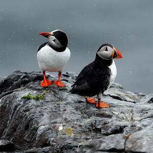 Extreme winds have affected puffins' ability to feed, experts said