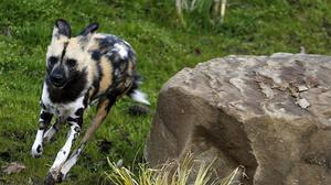 Nandi, a painted dog, after being released into new purpose built reserve at Yorkshire Wildlife Park.