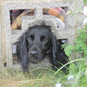 Lexi, a cocker spaniel, got stuck after putting her head through a wall in Porchester (Hampshire Fire and Rescue Service/PA)