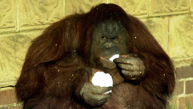 An Orangutan eating a snowball at Twycross Zoo in Leicestershire, as Snow and ice have blighted much of Britain, disrupting travel by road, rail and air.