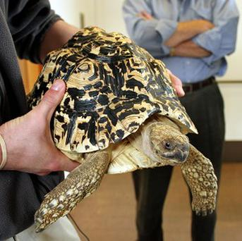 Cashew, an African leopard tortoise, went missing from an exhibit with a 4ft glass wall (AP/Katlyn R Gerken)