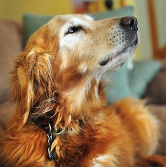 Twelve-year-old golden retriever Sundance ate the 100-dollar bills, but left the dollar (AP/The Independent Record, Eliza Wiley)