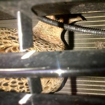 A pheasant which became stuck in the grille of a car for more than five hours (Scottish SPCA)