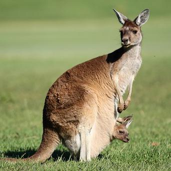 The police have asked the public if they've seen the kangaroo.