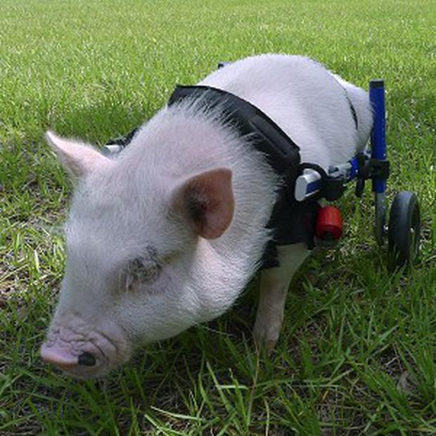 A potbellied pig named Chris P Bacon moves around on a harness as it was born without the use of his back legs (AP)