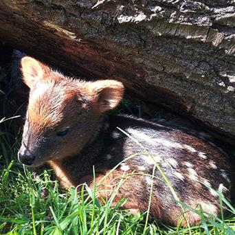 A baby pudu, the world's smallest species of deer, has been born at Bristol Zoo Gardens (Bristol Zoo Gardens/PA)