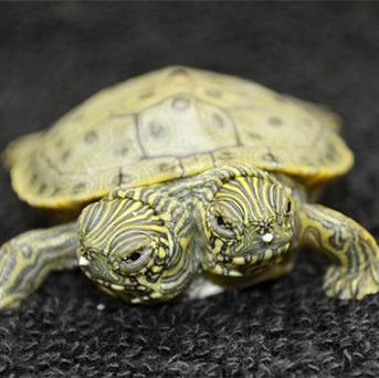 Thelma and Louise, a two-headed Texas cooter turtle, at San Antonio Zoo (AP)