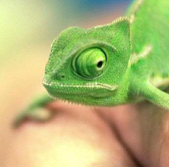 Chameleons are among 23 exotic animals taken from the Australian Reptile Park in New South Wales