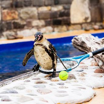 One of four penguins that have been named in honour of Andy Murray and the three women in his life