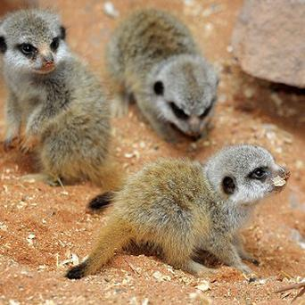 The newborn baby meerkats at Bristol Zoo Gardens, which welcomed triplets born on July 21