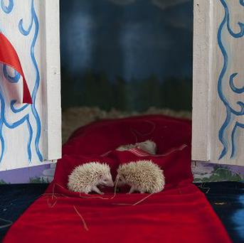 Albino hedgehog babies sit on a red carpet in front of their new home in a private zoo in Moscow (AP)