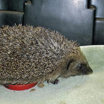 A hedgehog had a lucky escape after getting entangled in a badminton court net near Chard in Somerset. (RSPCA/PA)