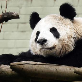 Edinburgh Zoo's giant panda Tian Tian is keeping staff guessing as to whether she is pregnant