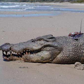 Prehistoric crocodiles ran like dogs in a world then dominated by dinosaurs, a study says