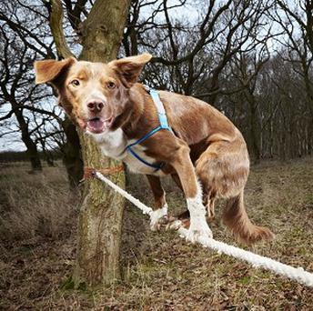 Ozzy, a Border Collie/Kelpie crossbreed, has made it into the Guinness Book of World Records for the fastest crossing of a tightrope by a dog